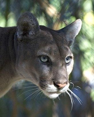The Florida Panther