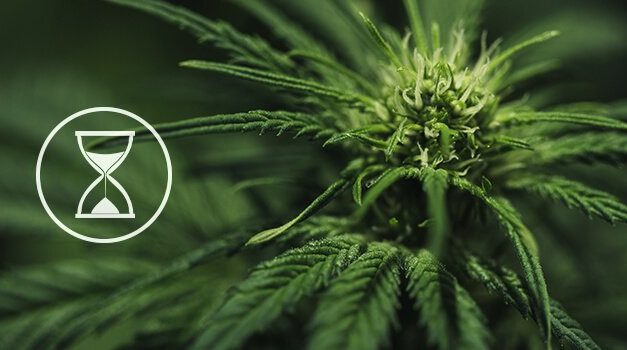 How Long is CBD in Your System?